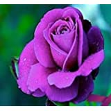 """PIANTA DI Rose VIOLA PURPLE """"eminence"""" Rosa IN ZOLLA per vaso RADICATA cm 35"""