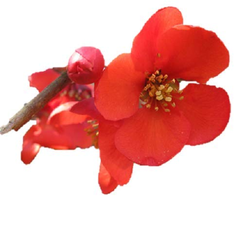 Spitfire Flowering Quince - Chaenomeles - Perenial - Healthy Established Roots - 4