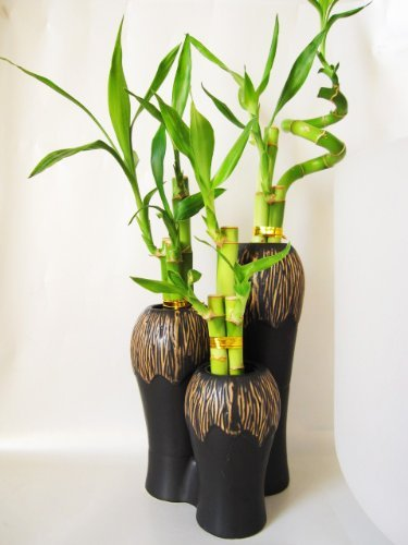 UPC 616932939426, 9GreenBox - Lucky Bamboo - Spiral Style 3 Set with Ceramic Vases