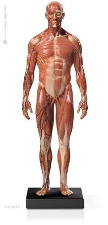 Male muscular anatomy