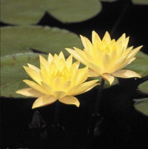 Nymphaea Joey Tomocik Yellow Hardy Water Lily Plant Tuber Rhizome BUY2GET1FREE
