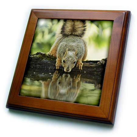 3dRose Danita Delimont - Squirrels - Eastern Fox Squirrel, Adult Drinking, Hill Country, Texas, USA - 8x8 Framed Tile (ft_315046_1)