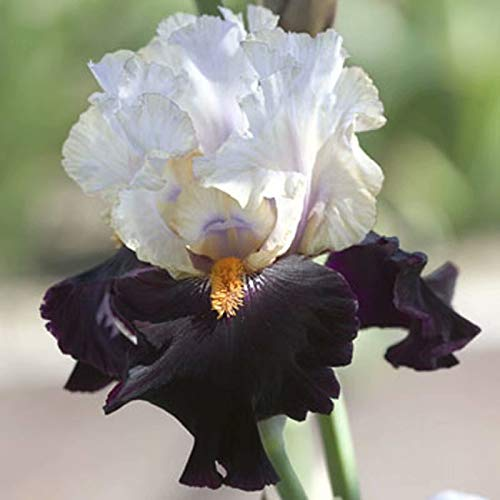 2 White and Black Iris Bulbs Perennial Flowers Gardening Bulbs Well in Pots Pretty Iris Garden Landscape ()