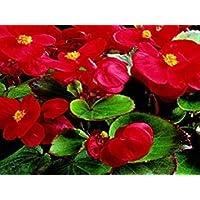 VISA STORE 50 Semillas Semillas granulados Begonia calientes