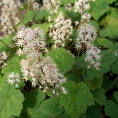 10 Bulbs/Rhizomes Foamflower Tiarella Bulbs - Fresh Bulbs Flower Spring Summer Beautiful Garden : Garden & Outdoor