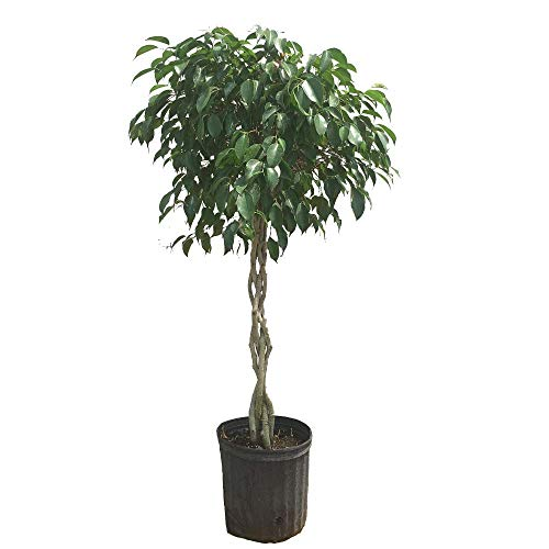 Benjamina Ficus Tree- 3-4 feet tall in 3 Gallon Pot- Unique Potted Tree, Perfect as a Patio Plant or Indoor Tree by Brighter Blooms