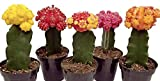 Fat Plants San Diego Large Grafted Moon Cactus Succulent Plants (2, Multi)