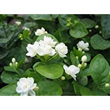 100pcs/pack Jasmine flower seeds white jasmine Seeds, fragrant plant arabian jasmine seeds