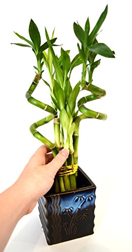 Large Product Image of 9GreenBox - Lucky Bamboo – Spiral Style with Black and Blue Ceramic Vase