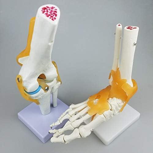 人体 解剖学モデル 股関節モデル 骨格模型 骨 靭帯 股関節の構造 説明 詳細 科学玩具 学習ツール
