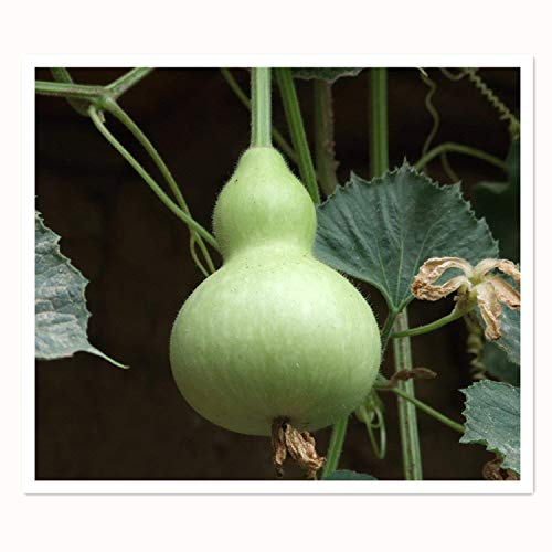 Nam Tao Klom Bottle Gourd 10 Seeds Asian Vegetable Round Shaped Fruit