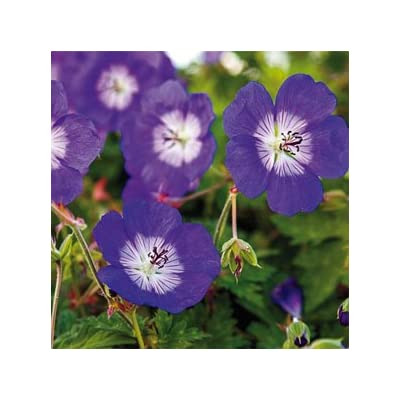 Geranium Seeds, Rozanne Geranium 50 Seeds Large Blooms Copyrighted Idahoseeds : Garden & Outdoor