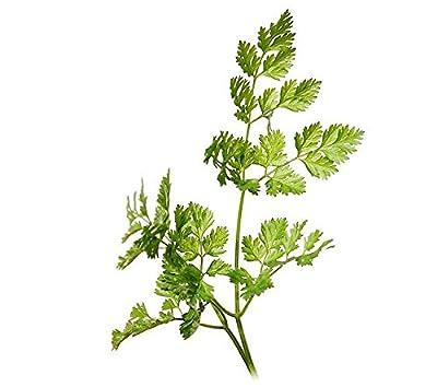 Chervil Curled Anthriscus cerefolium 150 seeds herb ez grow E42
