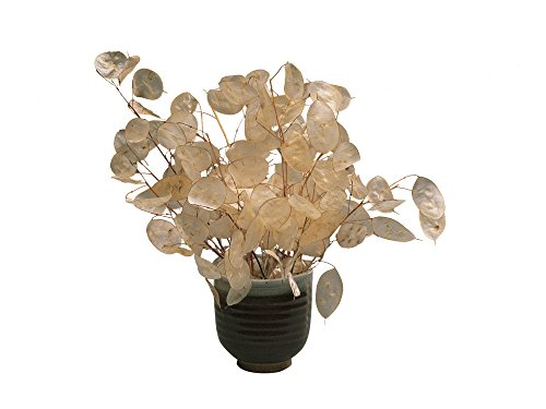 Burpee Money Plant Lunaria Seeds 100 seeds]()