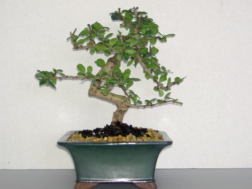 Lou's Bonsai Nursery Fukien Tea White Flowers Bonsai Tree by LOU'S BONSAI  NURSERY (Image #1)