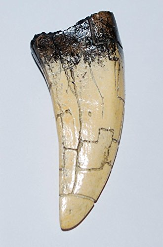 Cast Replica (TYRANNOSAURUS REX T-Rex Dinosaur TOOTH CAST (REPLICA- Not a real Fossil) #53 6o)