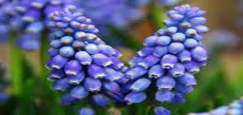Hyacinth, Grape, Bulbs (5 Pack), Beautiful Purple Perennial Hyacinth Bulbs, Purple ()