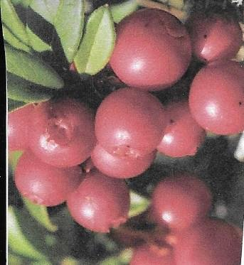 Magenta Lingonberry Bush