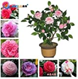 50 Pcs / Bag Camellia Seeds, Flower Seeds, Diy Potted Plants, Indoor / Outdoor Pot Seed Germination Rate of 95%