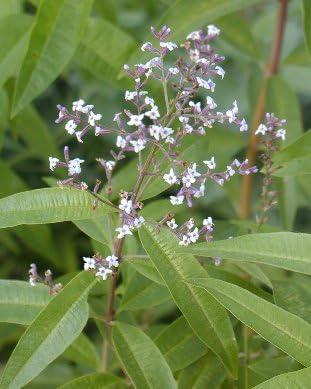Fantastic Lemon Scented Leaves. 3 Lemon Verbena Plant Plugs