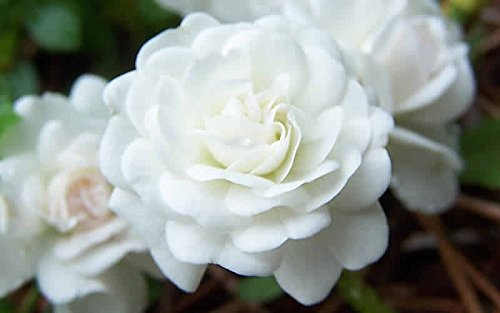 White Drift Rose - Disease Resistant - 4