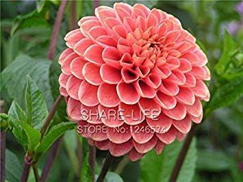 Vistaric Rare Red and White Point Dahlia Seeds Semillas de flores perennes hermosas Dahlia para DIY Home Garden 50PCS / PACK 10