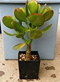 "Sunset Jade Plant - Crassula - Easy to Grow House Plant - 4"" Pot"