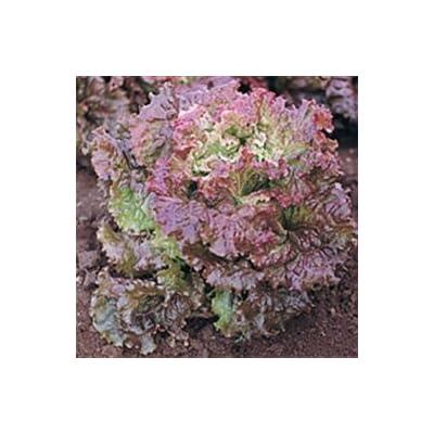 Organic Red Salad Bowl Lettuce - 1/16oz. Bulk Vegetable Seed : Lettuce Plants : Garden & Outdoor