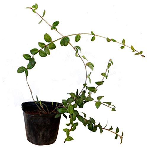 ヒメツルニチニチソウ 50ポットセット ビンカ ミノール 常緑 つる性 グランドカバー 寄せ植え B01M5ID2EQ  50ポット