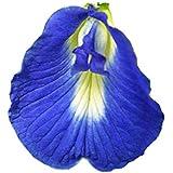 アントシアニンを豊富に含む バタフライピー (一重咲きの花) 種 15粒