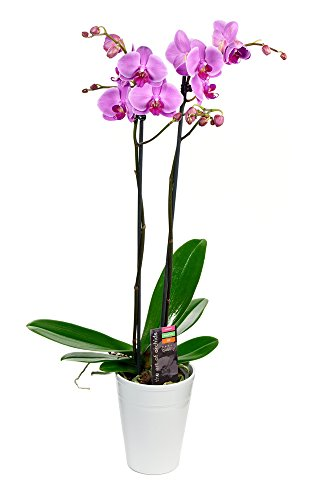 KaBloom Live Orchid Plant Collection: Purple Phalaenopsis Orchid Plant (18-24 Inches Tall) (2 Stems) In White Ceramic Pot by KaBloom