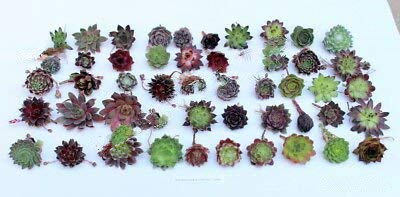 200 Sempervivum Mini Succulent Plants Varieties Hens and Chicks Rare MHWK52 by MHWK52 (Image #1)