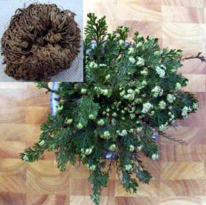 Rose of Jericho Resurrection Fern - Selaginella - Rose Jericho