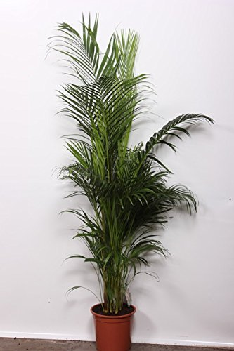 Chrysalidocarpus lutescens 140cm+/- Areca Palme Goldfruchtpalme Arecapalme Zimmerpflanze