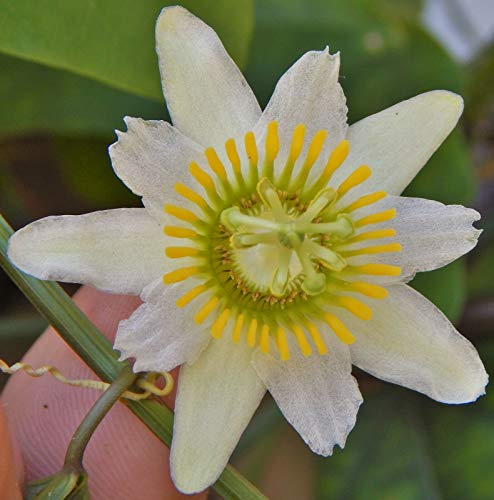 Passion Flower Maypop - 15 Seeds Passiflora biflora, maracuja Passion Flower White Maypop Fragrant Seed