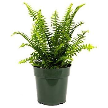 Amazon Com American Plant Exchange Sansevieria