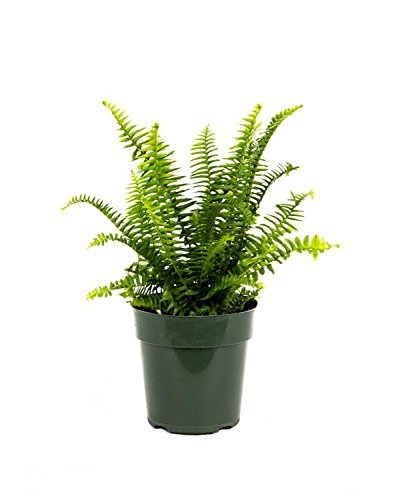 "AMERICAN PLANT EXCHANGE Fern Kimberly Queen Live Plant, 6"" Pot, Indoor/Outdoor Air Purifier"