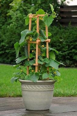 """F1 Patio Snacker Bush Cucumber 25 seeds """"Container"""""""