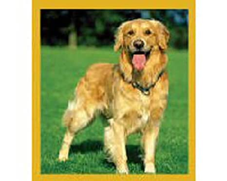 3af3544b9 Amazon.com : Golden Retriever Bookmark with Swarovski Crystals : Office  Products