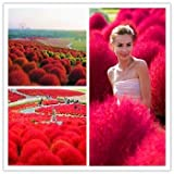 Shopvise Heirloom 300 Plant/Bag Grass Burning Bush Kochia Scoparia Red Garden Plant Exotic