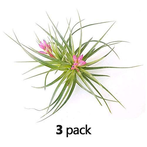 The Drunken Gnome AIR PLANTS - STRICTA HARD - 3 PACK - air purifying flowering tillandsia for terrarium, fairy garden starter kit, home office, indoor outdoor, corporate gift (3 PACK)