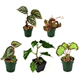 Begonia Bundle - 5 Plants