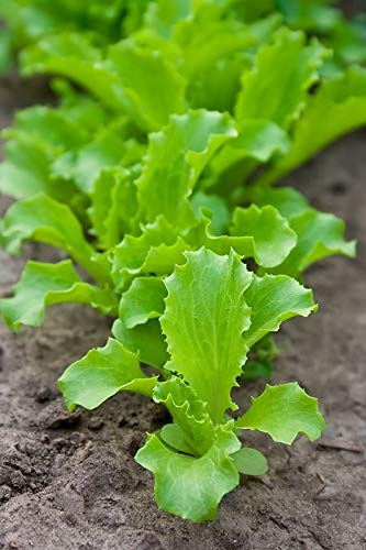 "Baby Leaf - Lechuga"" ..."