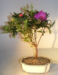 Bonsai Boy's Flowering Tropical Purple Formosa Azalea Bonsai Tree azalea indica 'formosa' by Bonsai Boy