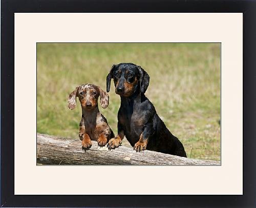 Framed Print of Dog - Mini Dachshunds - smooth by Prints Prints Prints