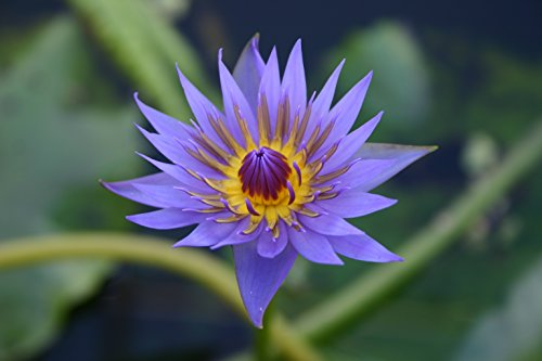PURPLE WATER LILY RHONDA KAY, SOLD AS: BARE ROOT