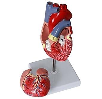 Amazon.com: Corazón humano anatomía Modelo – Zeta Genuine 1 ...