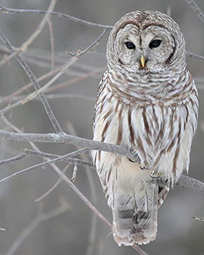 Barn Owl - Bird 11 x 14 * 11x14 Glossy Photo Picture Image #8 -