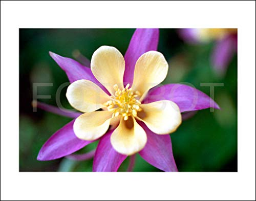 (Yellow Pink Columbine Garden Flower Limited Edition Fine Art Photo Photograph Print)