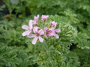 1 Starter Plant of Gray Lady Plymouth Scented - Plymouth Women
